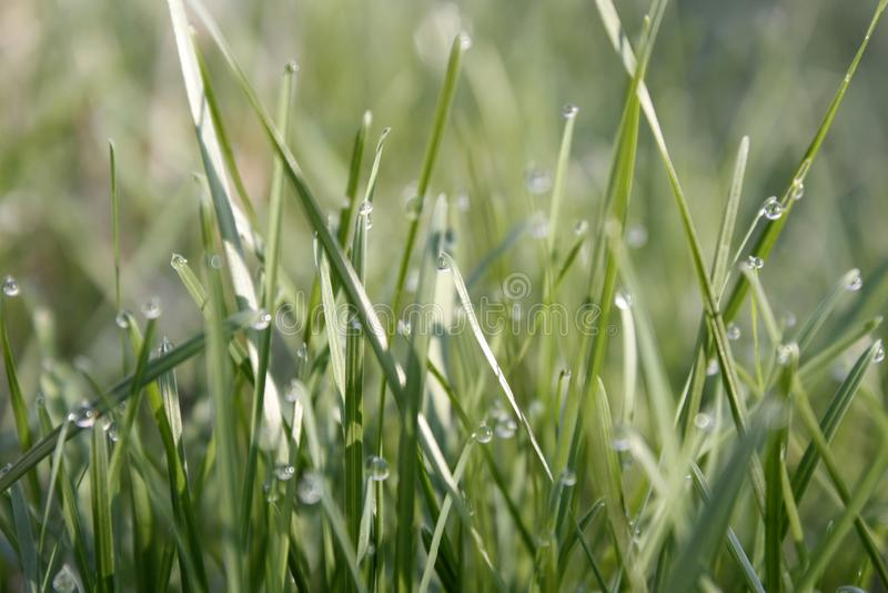 Το πράσινο λιβάδι πρωινού την άνοιξη με την πράσινη χλόη που καλύπτεται με τη δροσιά μειώνεται, κινηματογράφηση σε πρώτο πλάνο στοκ εικόνες με δικαίωμα ελεύθερης χρήσης