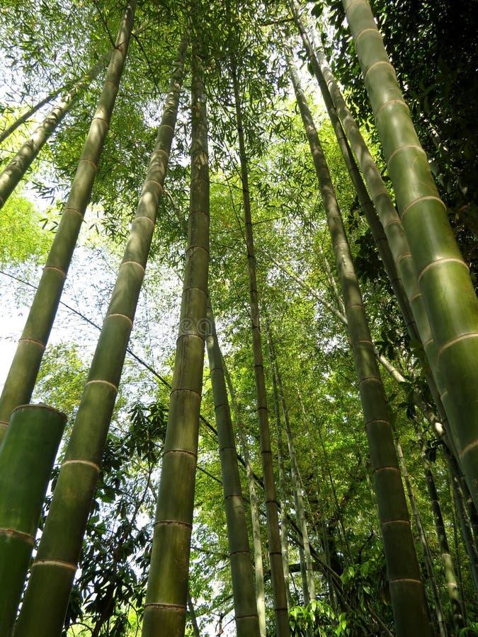 Το πράσινο μπαμπού βλαστάνει την πιό torest έννοια φύσης δέντρων στοκ εικόνες