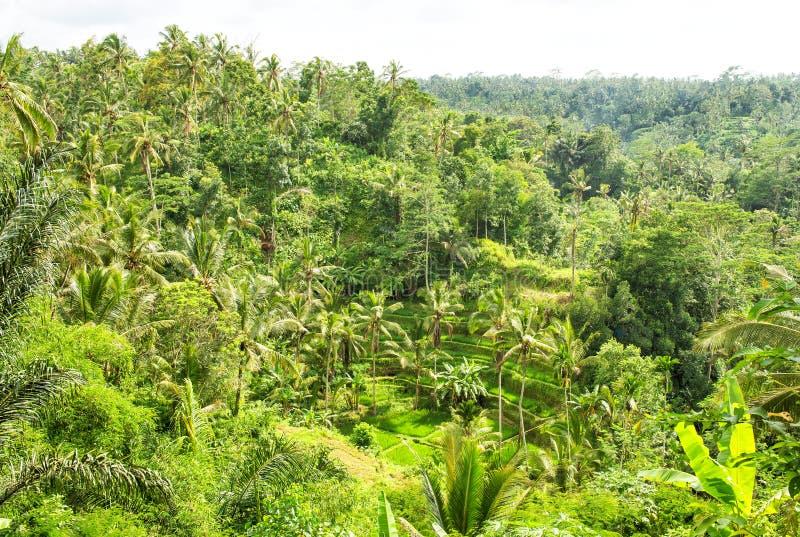Το πράσινο ρύζι φοινίκων αρχειοθέτησε το τροπικό τοπίο ζουγκλών στοκ εικόνες με δικαίωμα ελεύθερης χρήσης