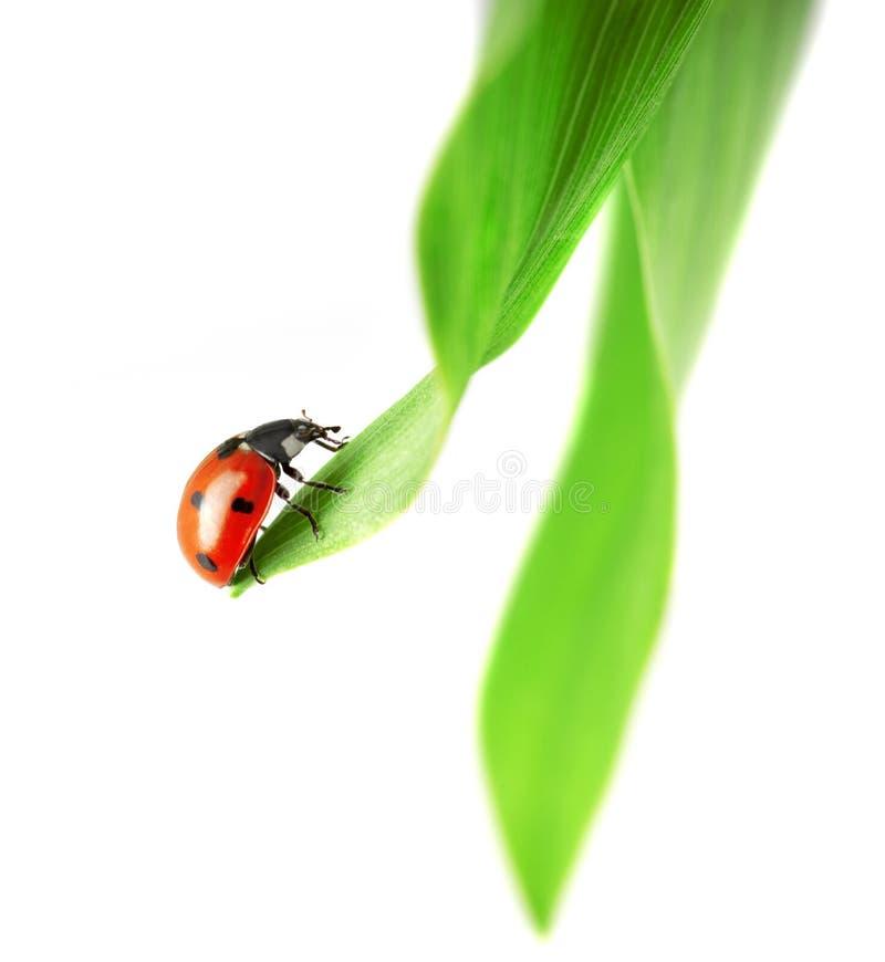 το πράσινο φύλλο ladybug κάθετα&i στοκ φωτογραφία με δικαίωμα ελεύθερης χρήσης