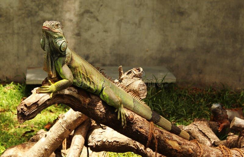 Το πράσινο iguana κοιτάζει στοκ φωτογραφίες με δικαίωμα ελεύθερης χρήσης