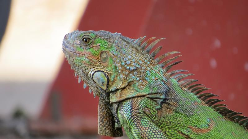 Το πράσινο iguana στον τροπικό κύκλο στοκ φωτογραφία