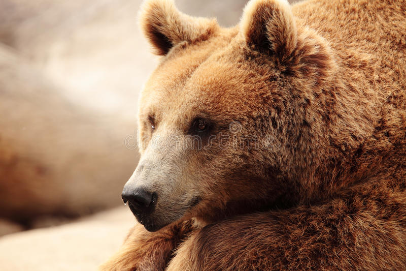 Το πρόσωπο μιας αρκούδας στοκ εικόνες