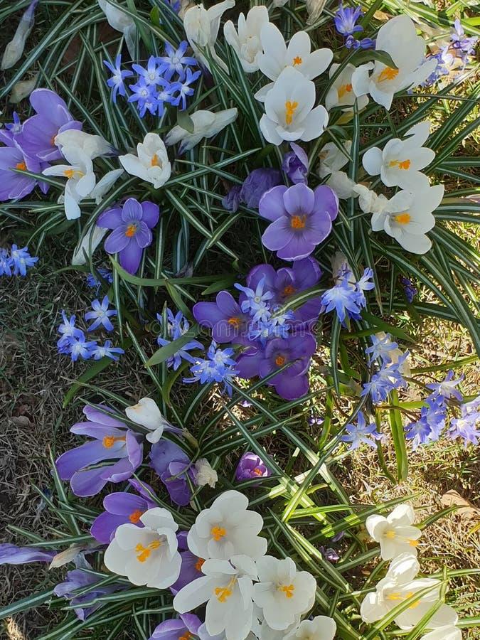 Το πρώτο ελατήριο ανθίζει τον κρόκο στο ιώδες και άσπρο χρώμα πάρκων στο πράσινο χλόης όμορφο υπόβαθρο φύσης ανθών Floral στοκ φωτογραφίες