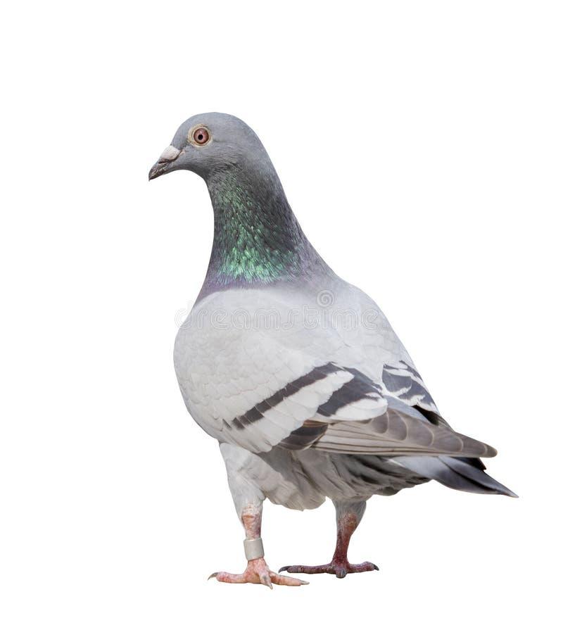 Το πλήρες σώμα του γκρίζου πουλιού περιστεριών απομονώνει το άσπρο υπόβαθρο στοκ φωτογραφίες