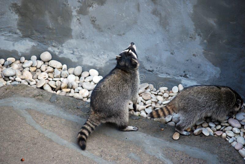 Το ρακούν εγκλωβίζει υπαίθρια, στο ζωολογικό κήπο της Μόσχας Γένος των αρπακτικών θηλαστικών της οικογένειας enotovy στοκ φωτογραφία με δικαίωμα ελεύθερης χρήσης