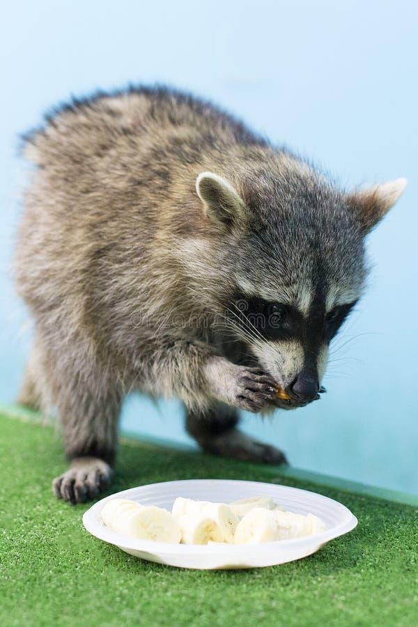 Το ρακούν στο ζωολογικό κήπο τρώει στοκ εικόνες