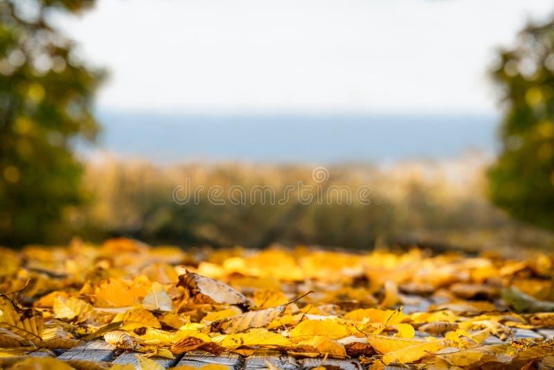Το ρηχό βάθος του τομέα πολλοί κίτρινο φθινόπωρο βγάζει φύλλα Όμορφη άποψη τοπίων με το διάστημα αντιγράφων στοκ εικόνες