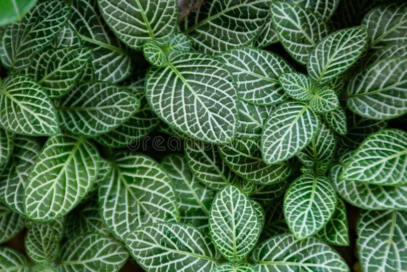 Το ριγωτό σκούρο πράσινο φύλλο, βλέπει τα σχέδια σαφώς στοκ εικόνες
