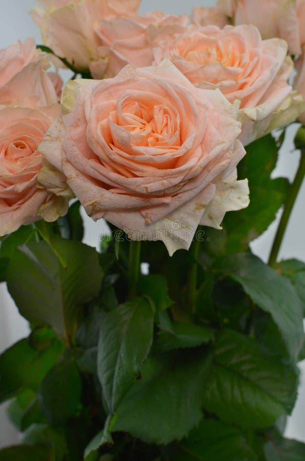 Το ροδάκινο αυξήθηκε λουλούδι στο άσπρο υπόβαθρο στοκ εικόνες