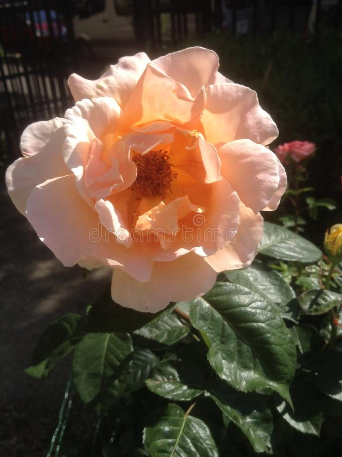 Το ροδάκινο χρωμάτισε αυξήθηκε - χρωματίστε την ημέρα σας με τα τριαντάφυλλα - Παρίσι, Γαλλία στοκ εικόνα με δικαίωμα ελεύθερης χρήσης