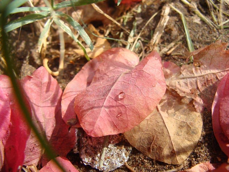 Το ροζ βγάζει φύλλα στοκ εικόνες