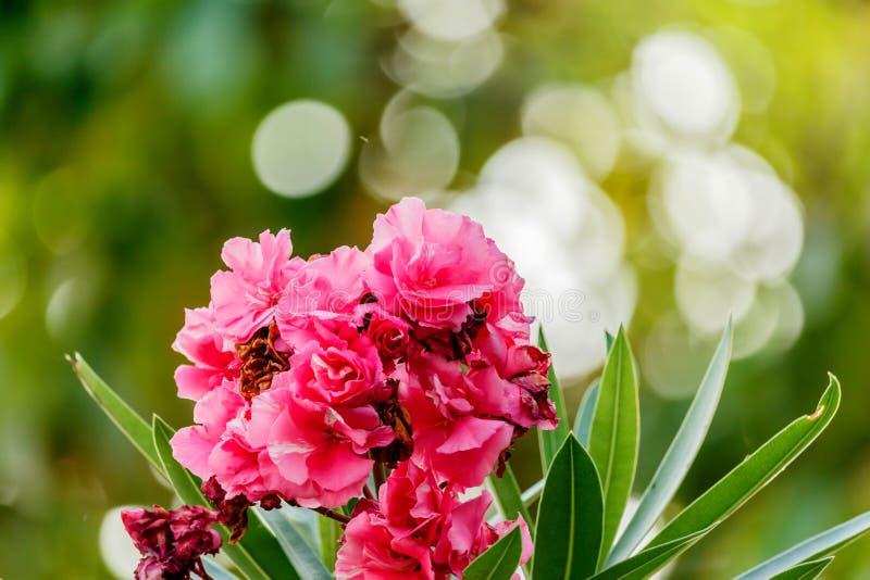 Το ροζ θάμνων Oleander αυξήθηκε λουλούδια με τα φύλλα στοκ εικόνες