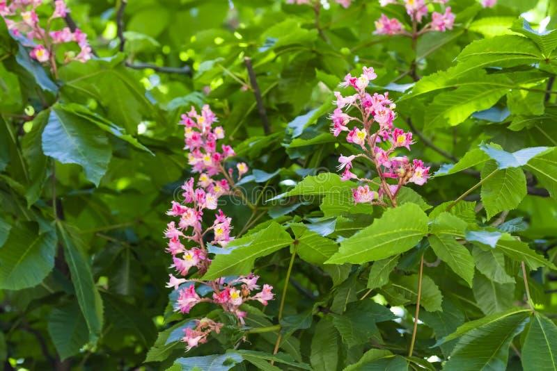 Το ροζ κάστανων αλόγων ανθίζει σε έναν κλάδο με το πράσινο φύλλωμα μια ηλιόλουστη ημέρα άνοιξη στοκ εικόνες