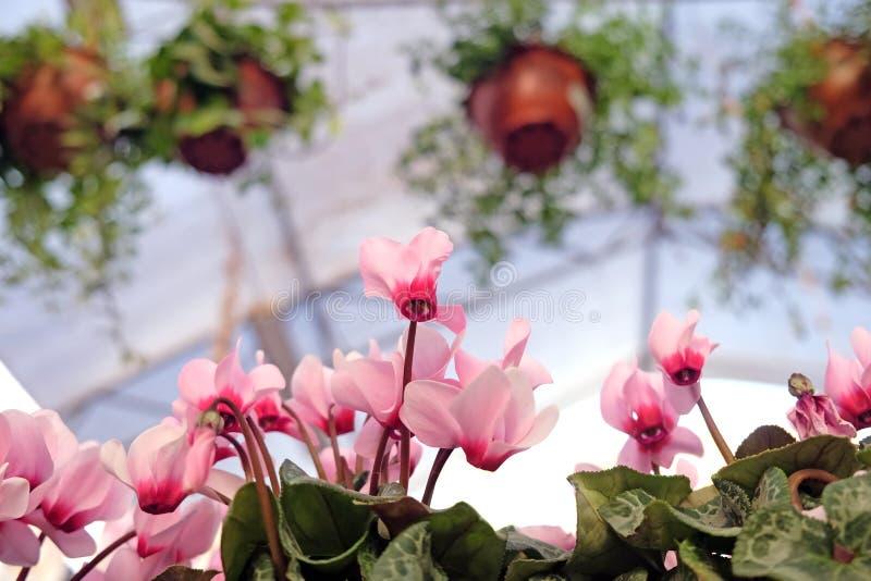 Το ροζ σε ένα ανθοπωλείο στοκ φωτογραφίες με δικαίωμα ελεύθερης χρήσης