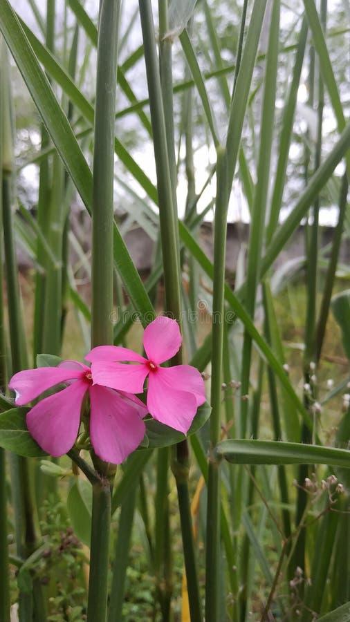 Το ροζ του λουλουδιού όμορφο στοκ εικόνες με δικαίωμα ελεύθερης χρήσης