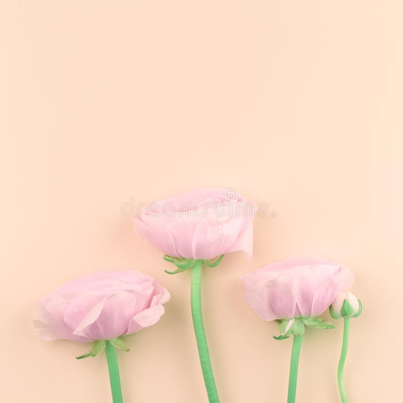 Το ροζ χρωμάτισε τα peony ή λουλούδια νεραγκουλών στο ροδάκινο στοκ φωτογραφίες