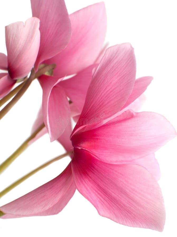το ροζ στοκ εικόνα