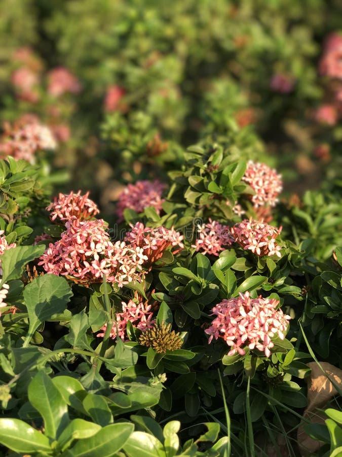 Το ροζ floral στοκ φωτογραφίες
