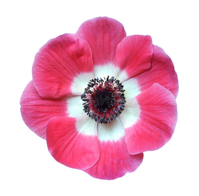 Το ροζ lisa της Mona κοκκινίζει λουλούδι στοκ εικόνα με δικαίωμα ελεύθερης χρήσης