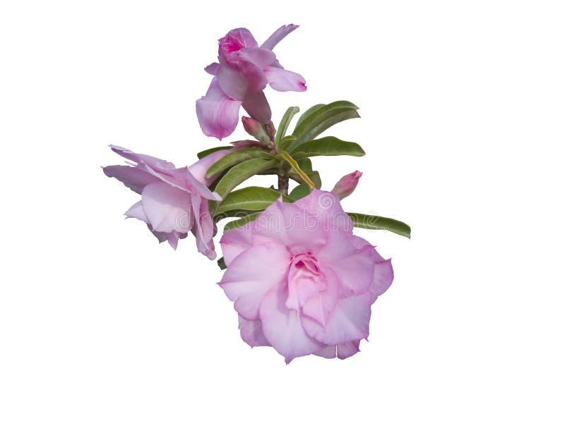 Το ρόδινη λουλούδι ή η έρημος Adenium αυξήθηκε απομονωμένος στο άσπρο υπόβαθρο στοκ εικόνες