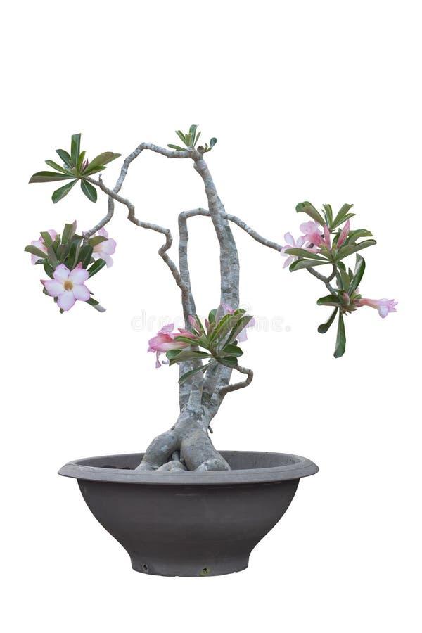 Το ρόδινη λουλούδι ή η έρημος Adenium αυξήθηκε στο μαύρο πλαστικό δοχείο που απομονώθηκε στο άσπρο υπόβαθρο στοκ εικόνα με δικαίωμα ελεύθερης χρήσης