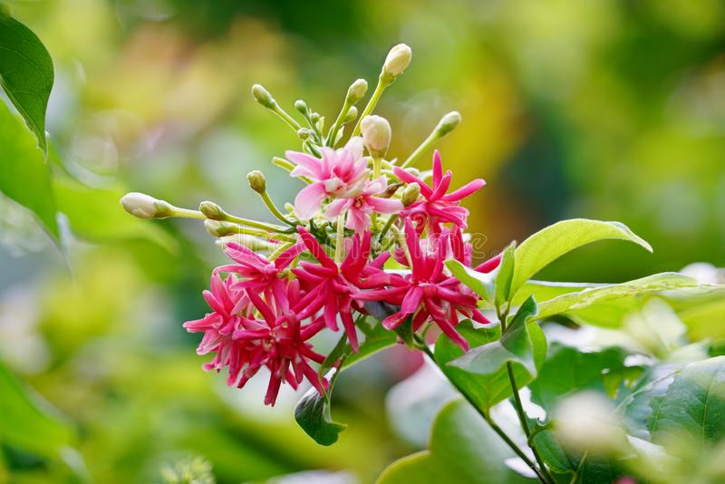 Το ρόδινο, κόκκινο και λευκό αναρριχητικό φυτό του Ρανγκούν ανθοδεσμών ή ο μεθυσμένος ναυτικός ανθίζει με το φρέσκο πράσινο υπόβα στοκ φωτογραφίες