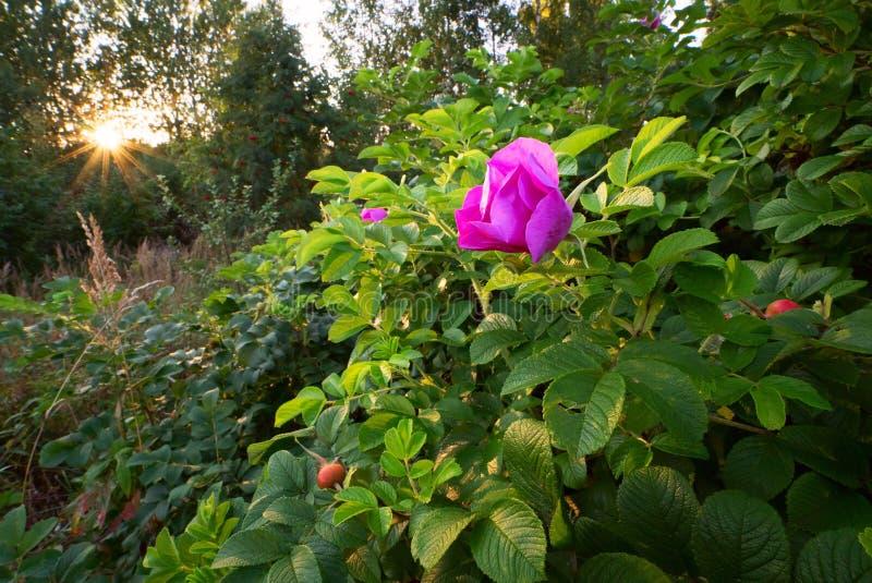Το ρόδινο λουλούδι αυξήθηκε στον ήλιο στοκ φωτογραφίες