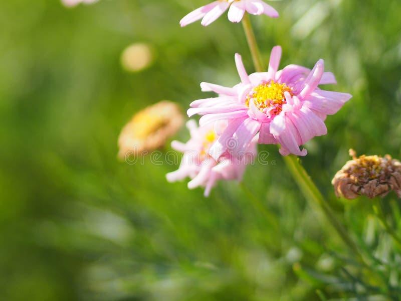 Το ρόδινο λουλούδι τα πέταλα είναι χρωματισμένο για να δει το κίτρινο jamesonii Gerbera ονόματος γύρης, Compositae, Gerbera, Barb στοκ εικόνες με δικαίωμα ελεύθερης χρήσης