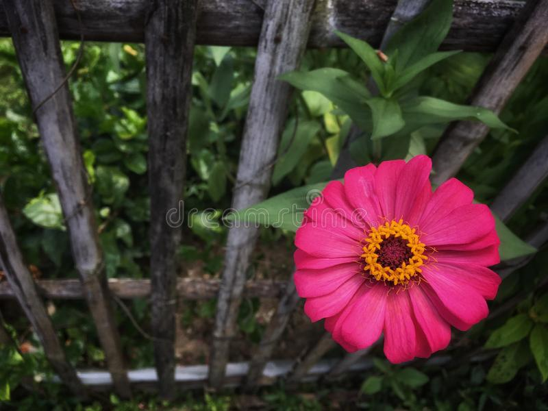 Το ρόδινο λουλούδι violacea της Zinnia με την κίτρινη γύρη είναι ανθίζοντας στο μίσχο στον κήπο κοντά στον ξύλινο φράκτη στοκ φωτογραφία