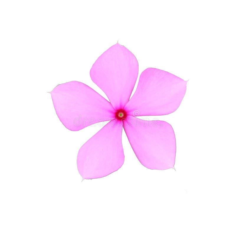 Το ρόδινο roseus Catharanthus σε Madaba είναι εγγενές απομονωμένο στο η Κεντρική Αμερική άσπρο υπόβαθρο στοκ εικόνες με δικαίωμα ελεύθερης χρήσης