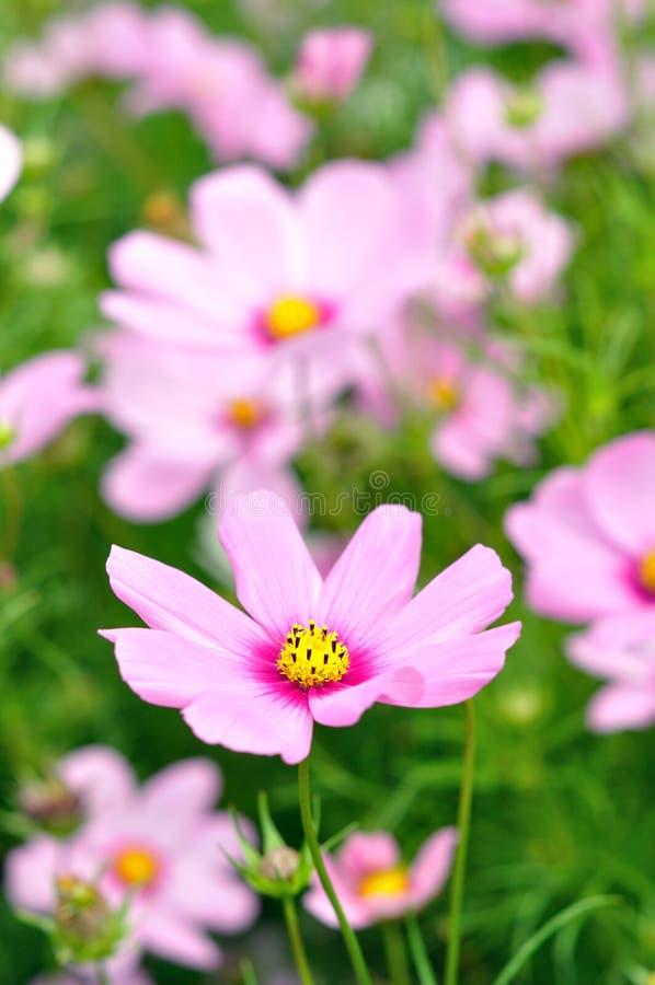 Το ρόδινο λουλούδι κόσμου με το υπόβαθρο, μαλακοί τόνοι στοκ φωτογραφία