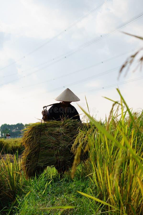 Το ρύζι συγκομιδών στοκ εικόνες με δικαίωμα ελεύθερης χρήσης