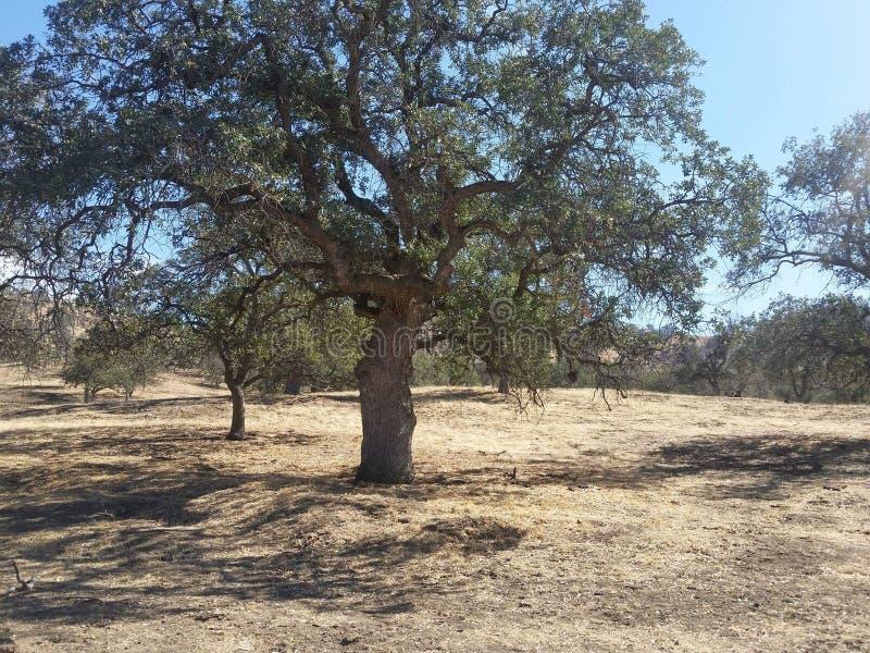 Το δρύινο δέντρο στοκ εικόνες