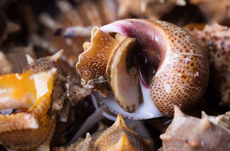 Το σαλιγκάρι θάλασσας, κλείνει επάνω στοκ φωτογραφίες με δικαίωμα ελεύθερης χρήσης