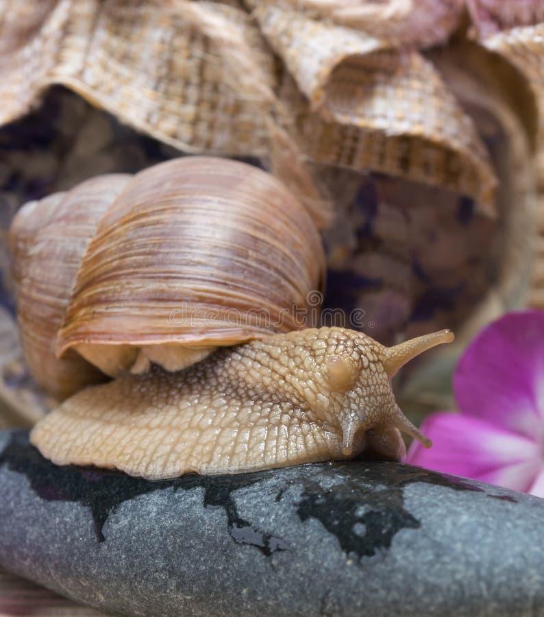 Το σαλιγκάρι κάθεται σε μια πέτρα, υπόβαθρο για τις επεξεργασίες SPA στοκ εικόνες