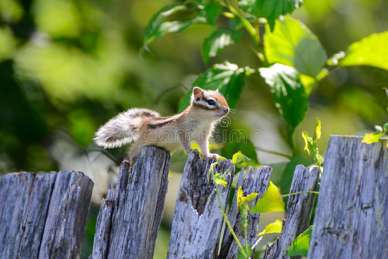 Το σιβηρικό chipmunk φωτογραφιών στοκ εικόνες με δικαίωμα ελεύθερης χρήσης