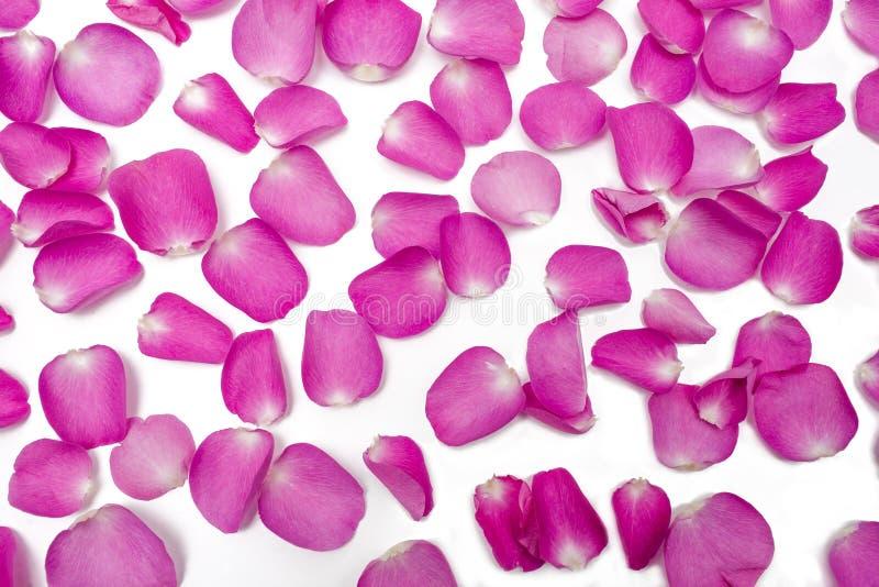 Το σκοτεινό ρόδινο πέταλο αυξήθηκε λουλούδι στο λευκό στοκ φωτογραφία