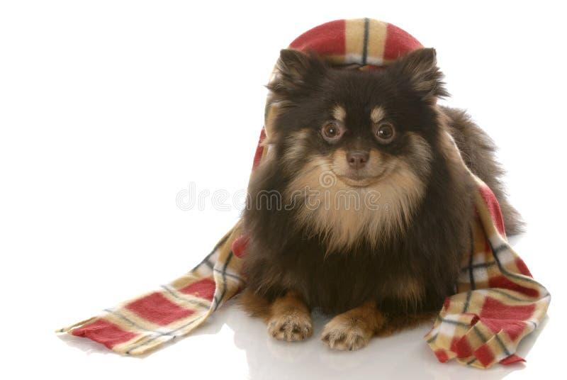 Download το σκυλί έντυσε επάνω το χ στοκ εικόνα. εικόνα από μόδα - 13175981