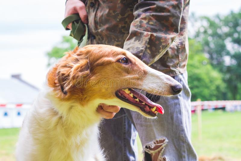 Το σκυλί αναπαράγει ρωσικό Greyhound κοντά στον ιδιοκτήτη του, ένα πορτρέτο μιας κινηματογράφησης σε πρώτο πλάνο σκυλιών στο prof στοκ εικόνες