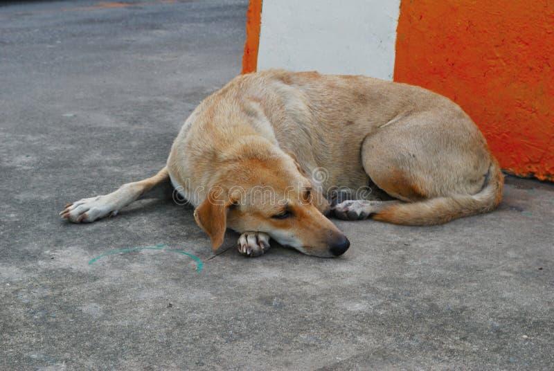Το σκυλί βάζει το επίπεδο στο πάτωμα στοκ εικόνες