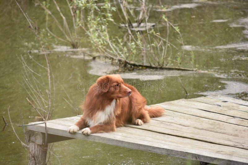 Το σκυλί βρίσκεται σε μια ξύλινη γέφυρα στοκ φωτογραφία