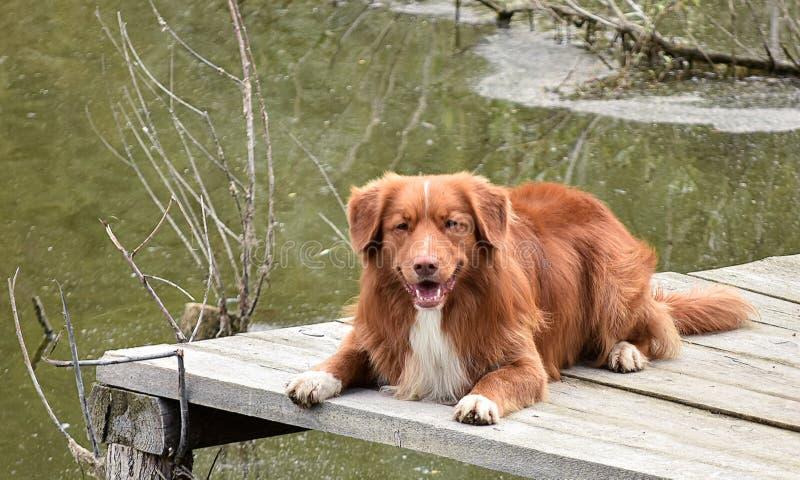 Το σκυλί βρίσκεται σε μια ξύλινη γέφυρα στοκ φωτογραφία με δικαίωμα ελεύθερης χρήσης