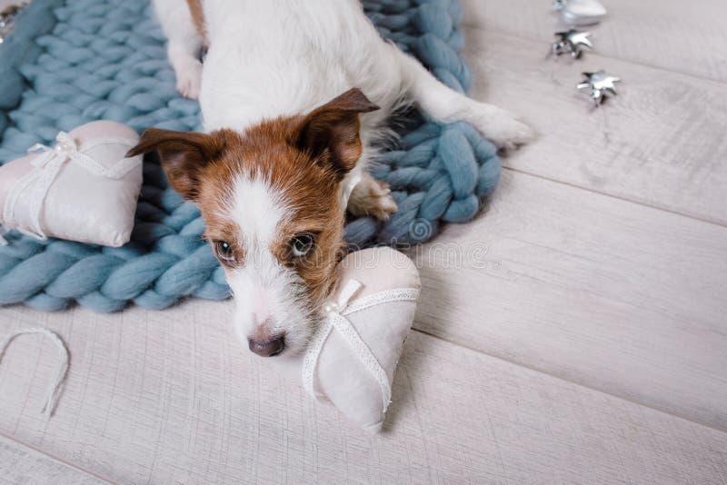 Το σκυλί βρίσκεται στο πάτωμα Τεριέ του Jack Russell σε ένα κάλυμμα στοκ φωτογραφία