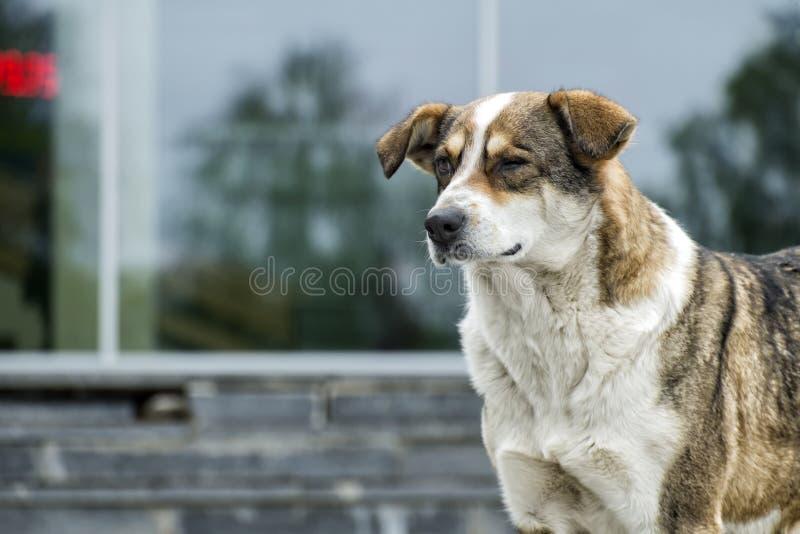 Το σκυλί δαγκώθηκε από μια μέλισσα στο μάτι και τώρα μοιάζει με ένα κλείνοντας το μάτι σκυλί στοκ φωτογραφία με δικαίωμα ελεύθερης χρήσης
