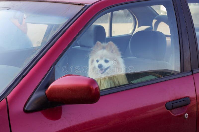 Το σκυλί είναι κλειστό στο αυτοκίνητο, κίνδυνος στα κατοικίδια ζώα το καλοκαίρι στοκ εικόνες