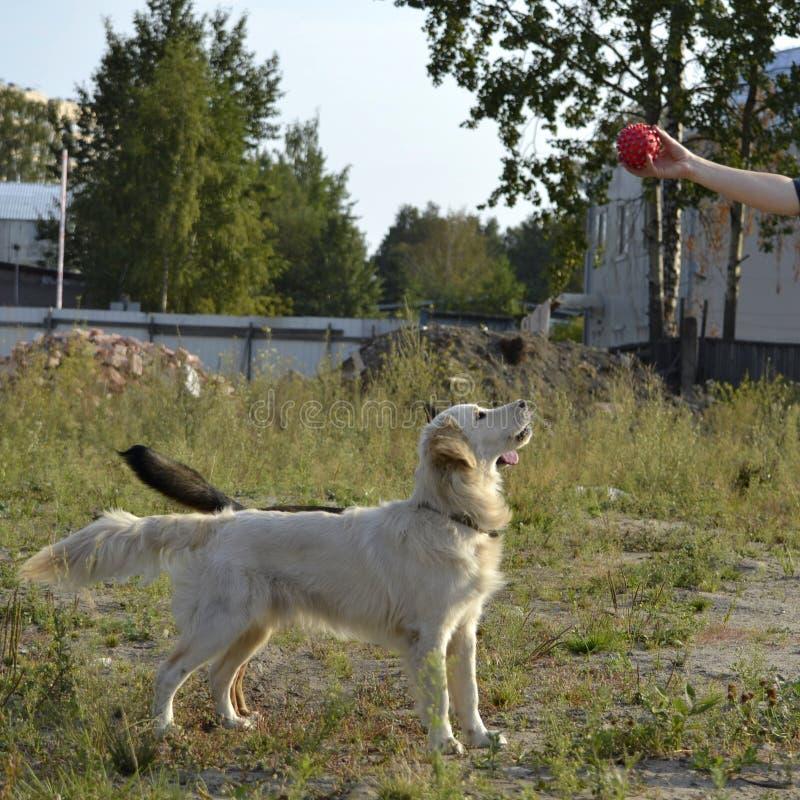 Το σκυλί εκτελεί τις εντολές του ιδιοκτήτη retriever κουταβιών του Λαμπραντόρ σκυλιών ανασκόπησης γκρίζα οπίσθια όψη στοκ φωτογραφίες
