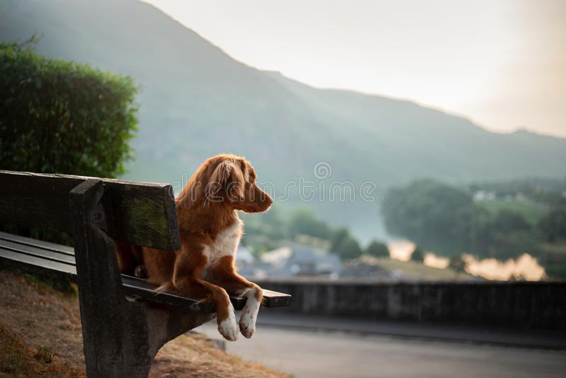 Το σκυλί κάθεται σε έναν πάγκο και εξετάζει την αυγή κόκκινο Retriever διοδίων παπιών της Νέας Σκοτίας, Toller στη φύση στοκ εικόνες