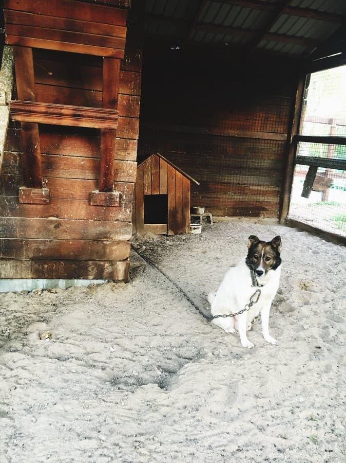Το σκυλί κάθεται σε μια αλυσίδα και τις φρουρές στοκ φωτογραφία