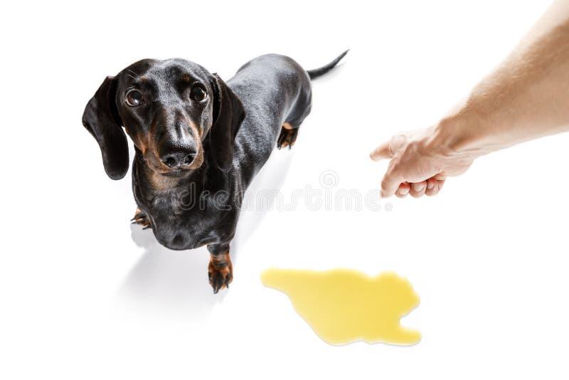 Το σκυλί κατουρεί ιδιοκτήτης στο σπίτι στοκ εικόνα